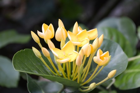 ixora: Yellow ixora flower in garden Stock Photo