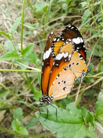 butterfly mating in garden photo