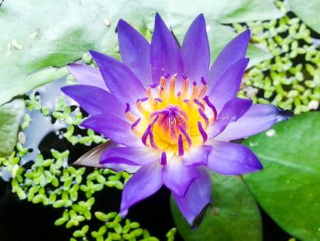 fish pond: purple lotus flower in fish pond