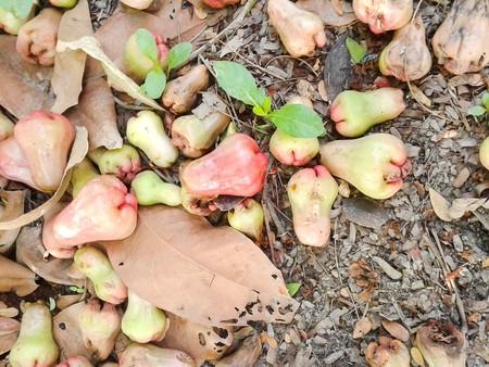 rose apple fall on the ground Stok Fotoğraf