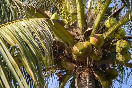 cocos: coconut tree in garden Cocos nucifera Stock Photo