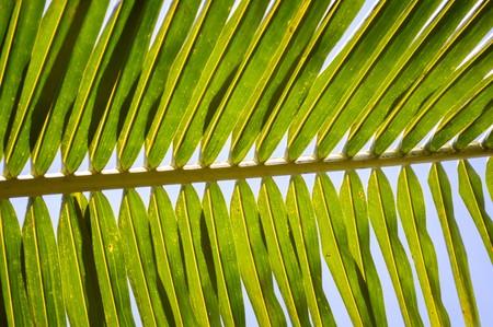 cocos: green coconut leaves in garden Cocos nucifera Stock Photo