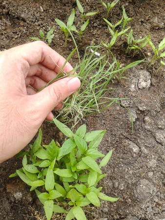 hand pulling grass weed out of garden Stock Photo - 41145874