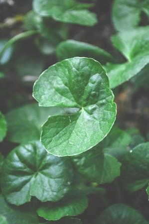 asiatica: green Centella asiatica in garden