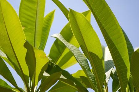 green plumeria leaves in garden
