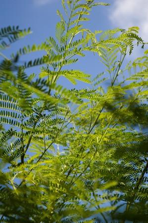 green acacia tree in garden  Acacia auriculiformis Cunn.