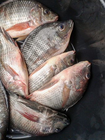 nile tilapia fish on plastic enamelware