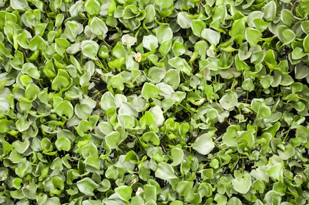 water hyacinth: Water Hyacinth tree in river Eichhornia crassipes