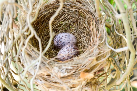 bird nest: Bird nest with eggs in garden