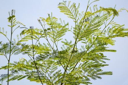 green acacia tree in garden Acacia auriculiformis Cunn. Stock Photo