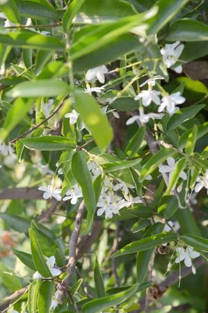 religiosa: Wrightia religiosa Benth flower in garden