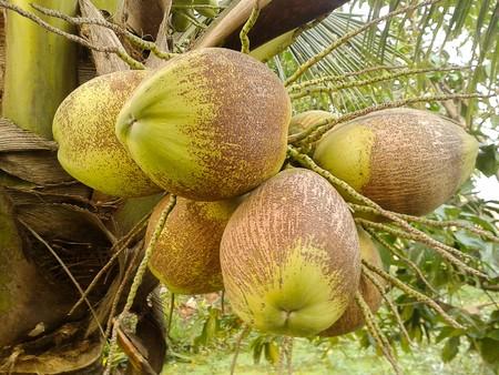 cocos: coconut tree in garden  Cocos nucifera