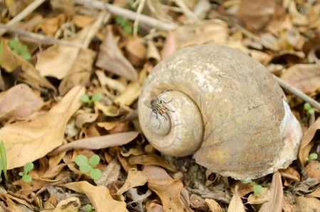 channeled: Channeled applesnail on the ground  Pomacea canaliculata