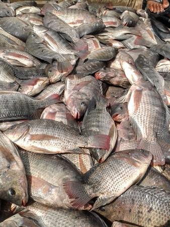 mango fish: Nile Tilapia fish Stock Photo
