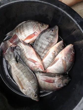 nile tilapia: nile tilapia fish on plastic enamelware