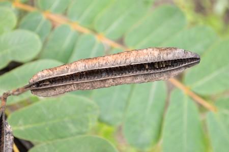 sheath: sheath seed Ringworm Bush in garden