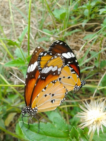 activity: butterfly mating in garden