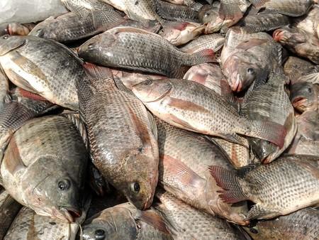 nile tilapia: Nile Tilapia fish Stock Photo
