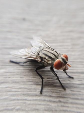diptera: tiny fly macro Stock Photo