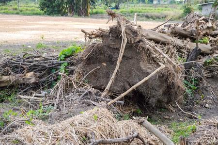dry roots tree on ground in garden Stok Fotoğraf