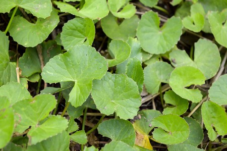 asiatica: Centella asiatica tree in garden