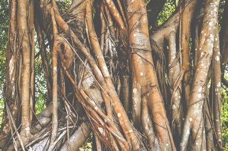 banyan: banyan bark tree in garden
