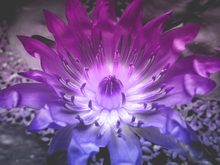 waterlily: art color of lotus flower Stock Photo