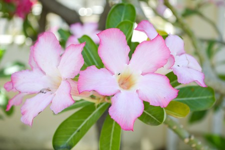 adenium obesum: pink Adenium obesum flower in garden