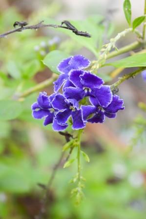 repens: purple Pigeon berry flower in garden Duranta repens L. Stock Photo
