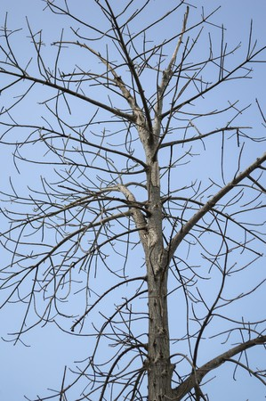dry: dry branch dead tree on blue sky