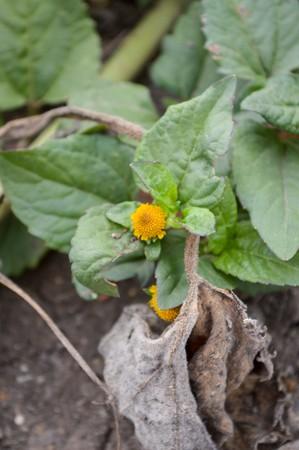 toothache plant tree in garden - Spilanthes oleracea