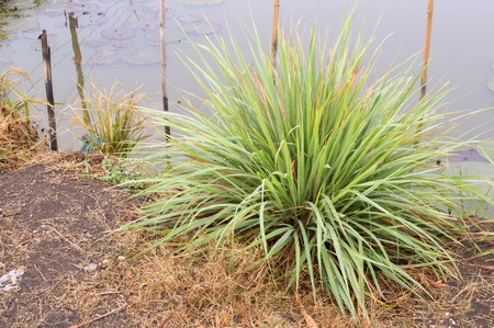 lemon grass tree on the ground Stock Photo
