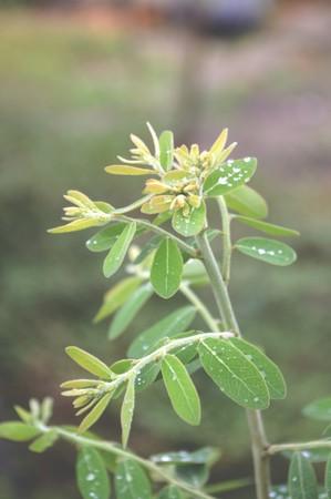 reticulatus: Phyllanthus reticulatus tree in garden
