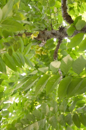 grosella: árbol de la grosella espinosa en el jardín