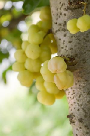 gooseberry: �rbol de la grosella espinosa estrella en el jard�n Foto de archivo