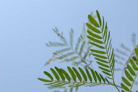 acacia tree in garden Acacia auriculiformis Cunn