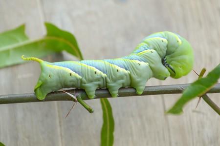 animal limb: green caterpillar on tree