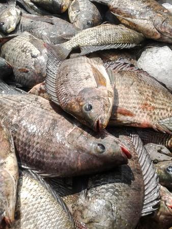 the nile: Nile Tilapia fish Stock Photo