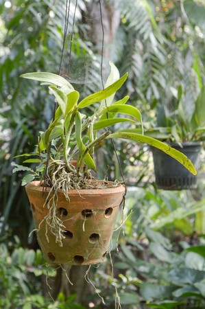 orchid tree: green orchid tree on pot hanging in garden