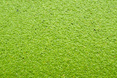 duckweed: green duckweed on water