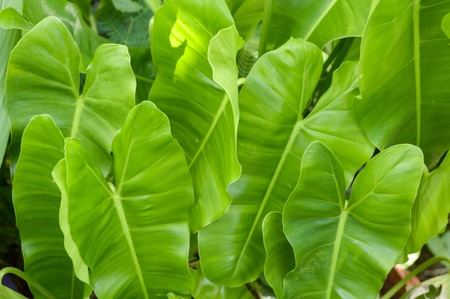 green Philodendron leaves in garden