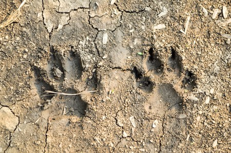 dirty feet: Dog footprint on the ground