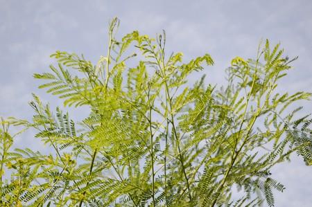green acacia tree in garden , Acacia auriculiformis Cunn.