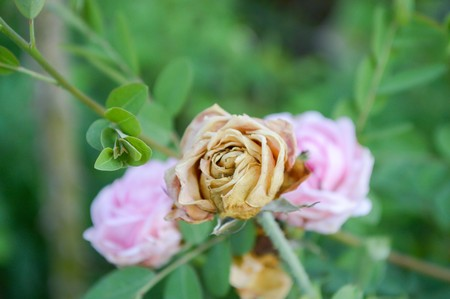 withered flower: withered pink rose flower in garden