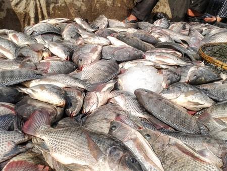 nilotica: Nile Tilapia fish Stock Photo