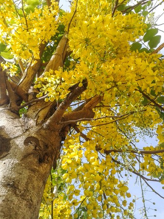 golden shower: Golden shower flower in garden , Cassia fistula Stock Photo