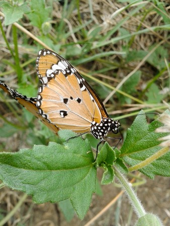 sexual activity: butterfly mating in garden