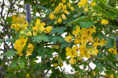 leguminosae: cassia surattensis flower in garden