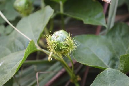 stinking: green Fetid passionflower in garden Passiflora foetida Stock Photo