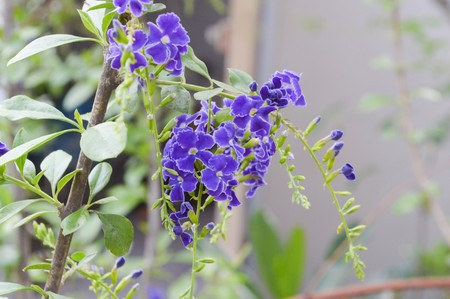 repens: purple Pigeon berry flower in garden , Duranta repens L.